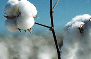 Image of Cotton Plant